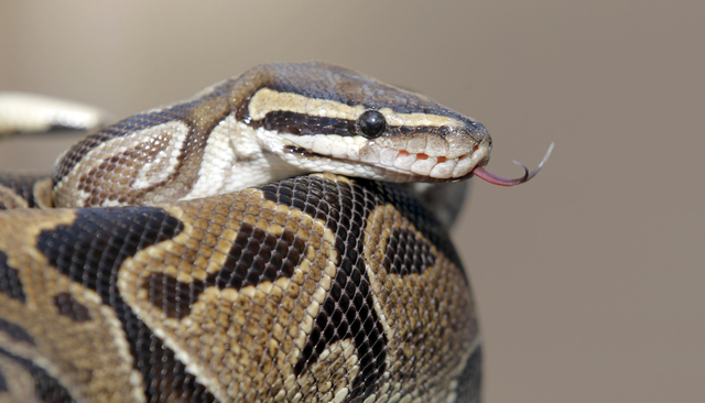A  pythonis is prepared for transport Wednesday Jan. 29, 2014, in Santa Ana, Calif., at the home of  William Buchman.  Buchman has been arrested for investigation of neglect in the care of animals ...