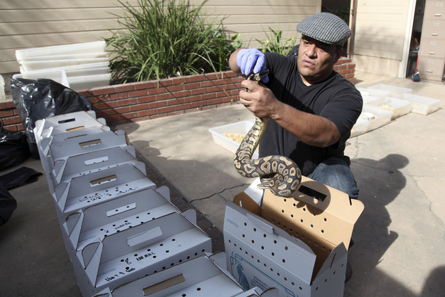 Tommy Munoz, with Herpetology Association Rescue prepares a python for transport Wednesday Jan. 29, 2014 in Santa Ana, Calif., at the home of  William Buchman, who has been arrested for investigat ...