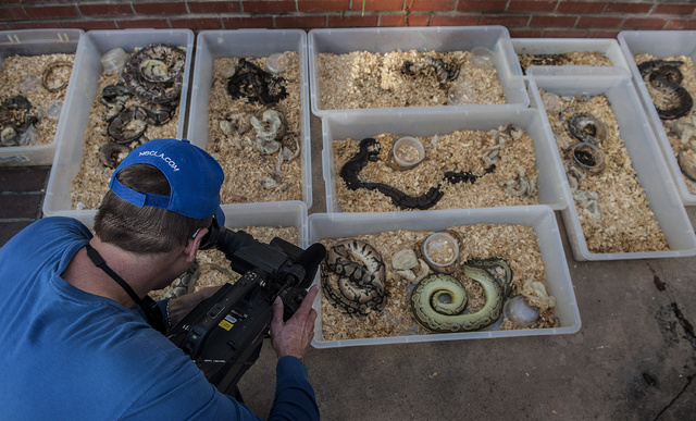 A television cameraman records snakes brought out of a house in Santa Ana on Tuesday, Jan. 29, 2014. A California schoolteacher was arrested Wednesday after hundreds of living and dead pythons in  ...