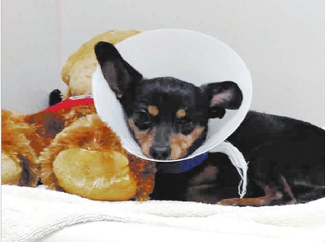 Eddie The Animal Foundation My name is Eddie (I.D. No. A757884), and I'm a 5-year-old neutered male Chihuahua. I love being pampered. Hold me in your arms, and let me nap in your lap, and I'm  ...