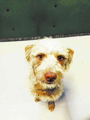Sandy brown The Animal Foundation My name is Sandy Brown (I.D. No. A758128), and I'm a 1-year-old terrier/miniature poodle mix. I enjoy long walks and an occasional run or two. I'm an active p ...