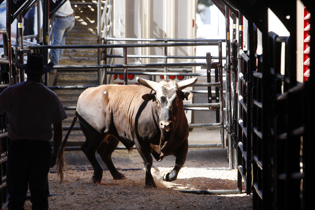 Bucking bull Bushwacker is unloaded from the truck at the Thomas & Mack Center for the Professional Bull Riders World Finals on Oct. 28, 2011. (K.M. Cannon/Las Vegas Review-Journal)