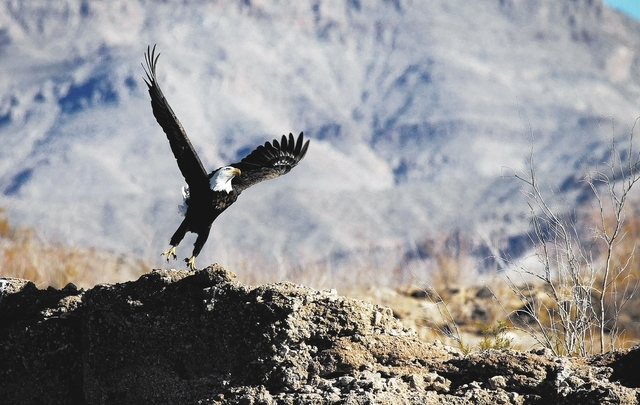 A bald eagle takes off from the shoreline of the Overton Arm of Lake Mead Wednesday, Jan. 15, 2014. The National Park Service conducted it's annual eagle count across Lake Mead and Lake Powell on  ...