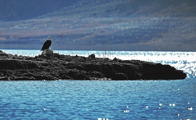 A bald eagle sits perched on the shore of the Overton Arm of Lake Mead Wednesday, Jan. 15, 2014. The National Park Service conducted it's annual eagle count across Lake Mead and Lake Powell on Wed ...