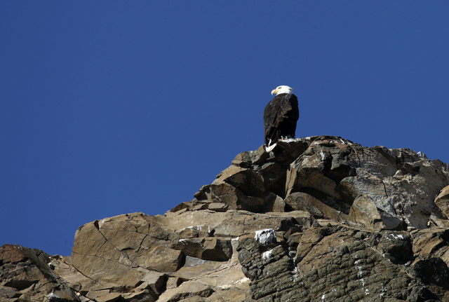 A bald eagle sits perched on rocks above the Overton Arm of Lake Mead Wednesday, Jan. 15, 2014. The National Park Service conducted it's annual eagle count across Lake Mead and Lake Powell on Wedn ...