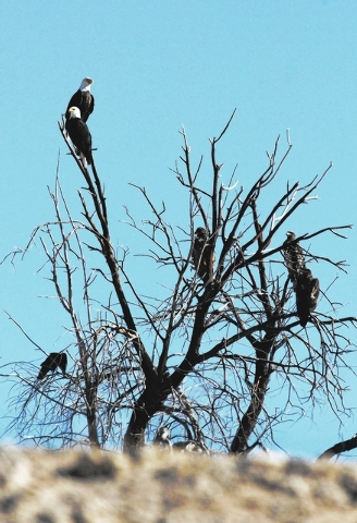 A group of bald eagles occupy a tree on the Overton Arm of Lake Mead Wednesday, Jan. 15, 2014. The National Park Service conducted it's annual eagle count across Lake Mead and Lake Powell on Wedne ...