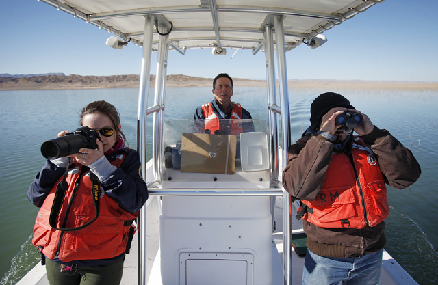 From left, Taylor Nunley, biologist Ross Haley and Jimmy Linares look for bald eagles on the Overton Arm of Lake Mead Wednesday, Jan. 15, 2014. The National Park Service conducted it's annual eagl ...