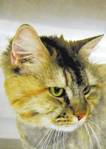 Julie Happy Home animal sanctuary I am a gorgeous brown tabby Maine coon mix. Super Sweet Girl is my other name, and I love to play and snuggle. I get along with other kitties. I have lots of love ...