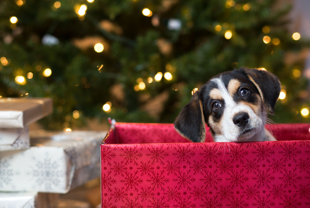 Photo illustration, photographed Sunday, Dec. 22, 2013, for a story on getting pets as Christmas presentsɮow what? (Samantha Clemens/Las Vegas Review-Journal)