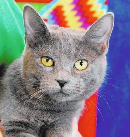 May Nevada SPCA Adopt me for a lifetime of unconditional devotion in exchange for a responsible, indoor-only, loving home. My name is May, and I am a junior kitten, 7 months young, a spayed girl w ...