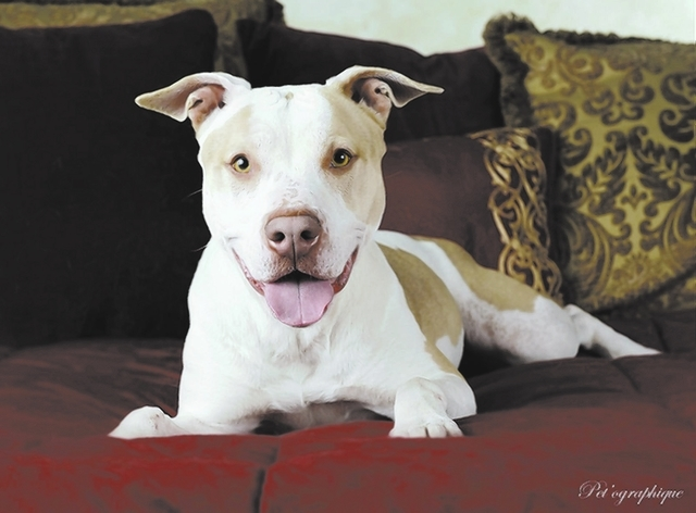 Sookie Nevada SPCA I am a luminous, well-behaved young girl ready to bless you with my lifelong, unconditional devotion. My name is Sookie, and I am 2-year-old bully mix who is spayed, great with  ...