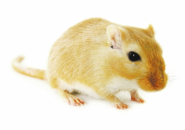 Blonde gerbil isolated on a white background