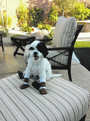 "The Hammond/Uhrin family of Henderson shared this photo. ""This is Brodie, the love of our life! He's prepared for the cold Vegas winter with his new Pugz boots! Brodie is a maltipoo who rescue ..."
