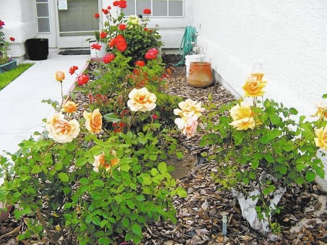 Shredded Wood Works Best As Mulch For Roses Las Vegas
