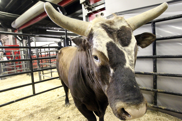 Bucking bull Bushwacker waits to be put in his pen at the Thomas & Mack Center for Round 3 of the Professional Bull Riders World Finals Friday, Oct. 28, 2011. Bushwacker has not been ridden a full ...