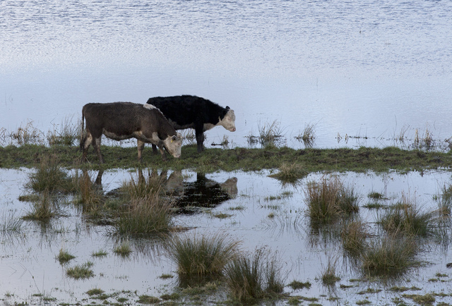 In this photo taken Sunday Feb. 2, 2014, Cattle try to graze amidst the floodwater of the River Parrett near Langport, Somerset England. Here on the Somerset Levels _ a flat, marshy region of farm ...