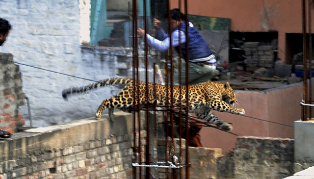In this Sunday, Feb. 23, 2014 photo, an Indian man moves out of the way of a leopard in the northern Indian city of Meerut, India. Forestry officials and police armed with tranquilizer darts searc ...