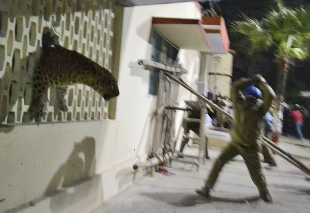 In this Sunday, Feb. 23, 2014 photo taken with a cellphone camera, an Indian policeman tries to charge a leopard with a stick that was spotted at a hospital in Meerut, India. Police said forestry  ...