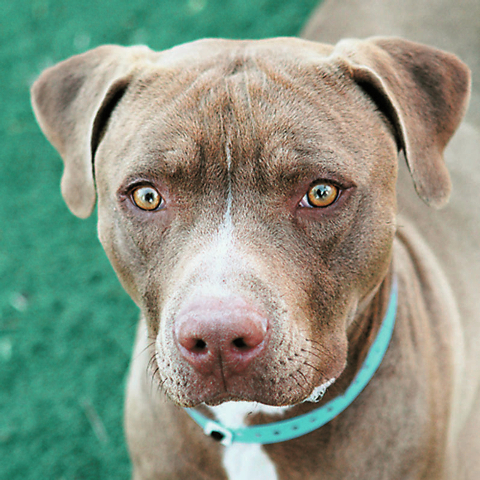 """Tarzan The Animal Foundation Woof! My name is Tarzan (I.D. No. A756140), and I'm a friendly, happy 3-year-old male pit bull terrier. I'm a smart guy. I already know """"sit"""" and """"down."""" I ..."""