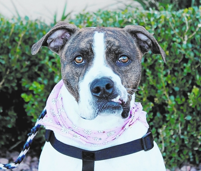 Joanie Animal Network Joanie is a 1½-year-old beautiful boxer mix. This girl is always up for a car ride or a walk. Her jaw is slightly misaligned; doctors think it's either an old injury or a  ...