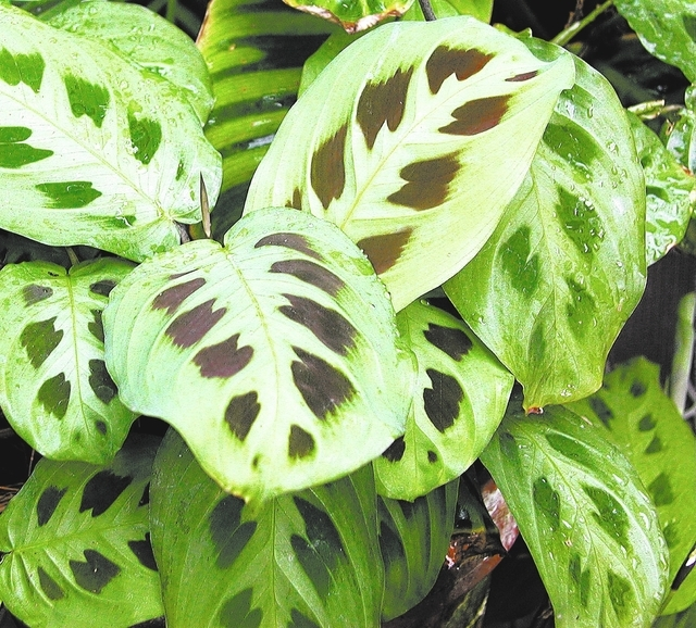 "In this undated photo, a prayer plant (Maranta leuconeura) is shown, a houseplant that tolerates low light levels, ""prays"" by folding up its leaves each evening, in New Paltz, N.Y. (AP P ..."