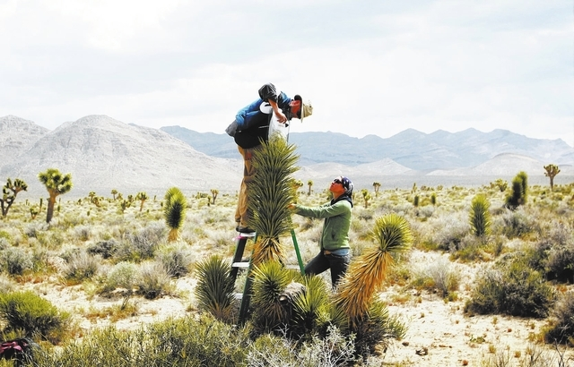 JESSICA EBELHAR/LAS VEGAS REVIEW-JOURNAL  Researcher Chris Smith checks blooms to see if field assistant Candace Fallon will be able to introduce Yucca moths to blooms on Joshua trees in the Mojav ...