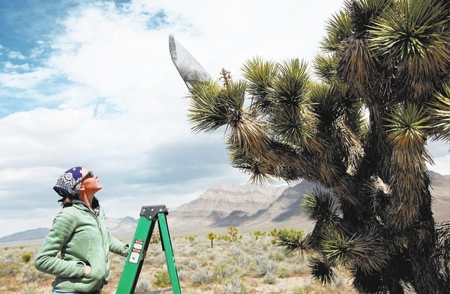 RJ FILE*** JESSICA EBELHAR/LAS VEGAS REVIEW-JOURNAL Field assistant Candace Fallon introduces Yucca moths to blooms on Joshua trees in the Mojave Desert during research on April 7, 2011. The iconi ...