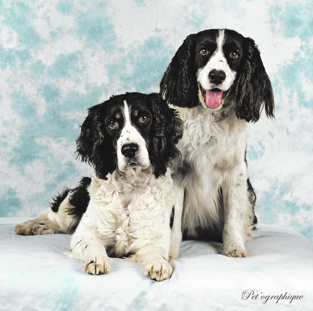 Kenzie and paco Senior Springer Rescue Owning one springer spaniel is great, but owning two is so much better. From left, Kenzie (9 years old) and best friend Paco (8 years old) have been together ...