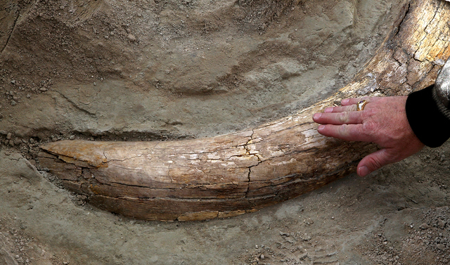Las Vegas City councilman Steven Ross touches the fossilized tusk of a Columbia Mammoth believed to be 16,000 years old, while taking a tour of the fossil grounds site at Tule Springs in the Upper ...