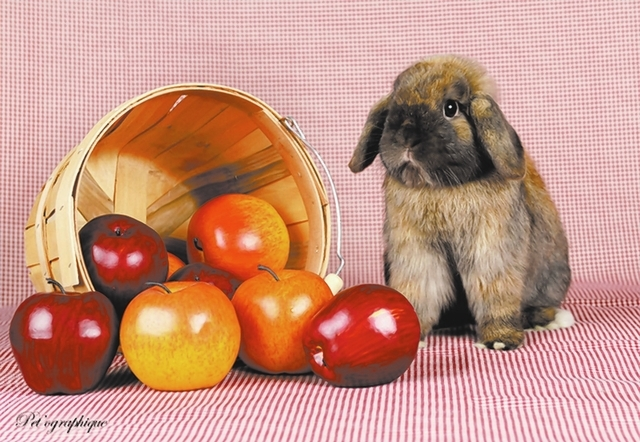 Clive Nevada SPCA I am a tiny young boy recovering from an unfortunate past, so please be patient with me while I bloom. My name is Clive, and I am a Holland mini-lop bunny, 1 year of age and neut ...