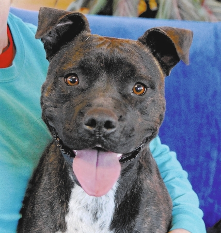 Millie Nevada SPCA I am ready to be a bright burst of sunshine in your life. I adore people and see the best in everyone I meet. My name is Millie, and I am a small bully mix, 2 years young, a spa ...