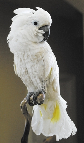 """Harpo"" the Umbrella Cockatoo, rests on a perch while at the Southern Nevada Parrot Education Rescue and Rehoming Society headquarters in Las Vegas on Jan. 28, 2014. (Jason Bean/Las Vega ..."
