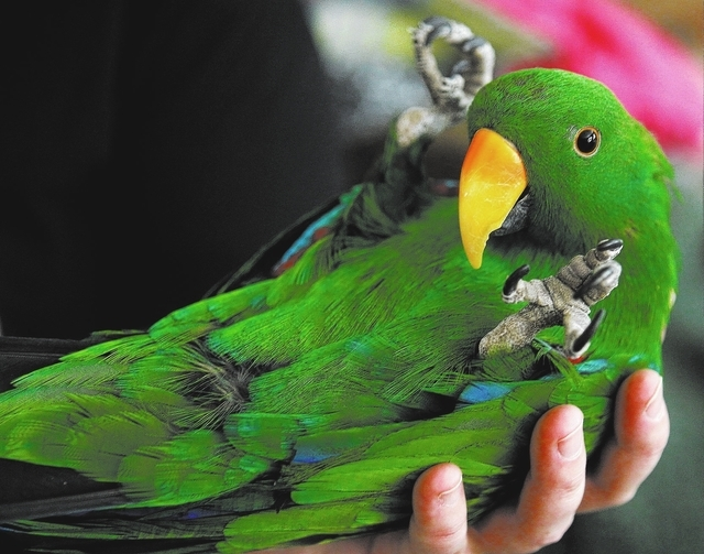 """Karl,"" a male Eclectus, plays dead while at the Southern Nevada Parrot Education Rescue and Rehoming Society headquarters in Las Vegas on Jan. 28, 2014. (Jason Bean/Las Vegas Review-Jou ..."