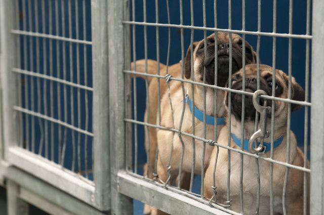 A couple of puppies are seen at Lied Animal Shelter in Las Vegas where a total of 27 small breed puppies were taken to after a pet shop arson, Monday, Feb. 3, 2014. The rescued puppies have been f ...