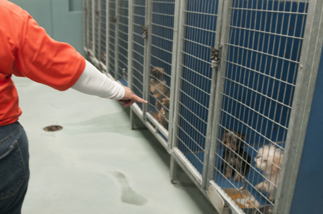 A Lied Animal Shelter employee who refused to be identified points to a group of puppies rescued after a pet shop arson, Monday, Feb. 3, 2014. The rescued puppies have been fully vaccinated and wa ...
