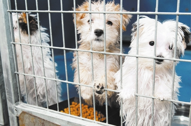 A group of puppies are seen at Lied Animal Shelter in Las Vegas where a total of 27 puppies were taken to after a pet shop arson, Monday, Feb. 3, 2014. The rescued puppies have been fully vaccinat ...