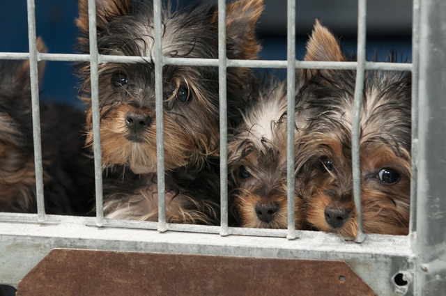Rescued Yorkshire terriers are seen at Lied Animal Shelter in Las Vegas where they were taken to after a pet shop arson, Monday, Feb. 3, 2014. A total of 27 puppies were rescued and taken to the s ...