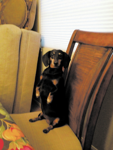 "Las Vegas resident Laurie Dickerson said, ""Nicki is a 12-year-old black and tan miniature dachshund. She loves to give kisses and is always looking for snacks, as you can see."""
