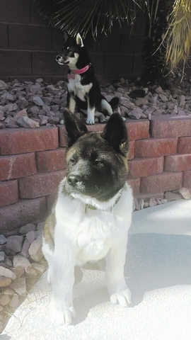 "Tony and Iolani Burnside of Las Vegas said, ""Here are our two puppies: our Akita, named Yoshi and our Shiba Inu named Storm."""