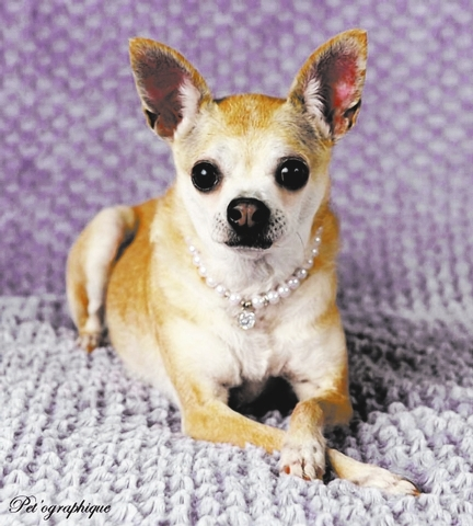 Kaya Southern Nevada Beagle Rescue Kaya is a 9-year-old female Chihuahua. She is 9 pounds and was to be euthanized for her age in the shelter. She is a sweet, good girl who needs a family to love  ...