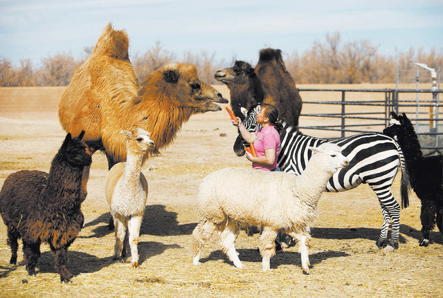 Valerie Holt feeds a carrot to an animal as other animals surround her at the Roos-N-More in Moapa. Clark County cleared the menagerie to open to tours of up to 40 people.. (John Locher/Las Vegas  ...