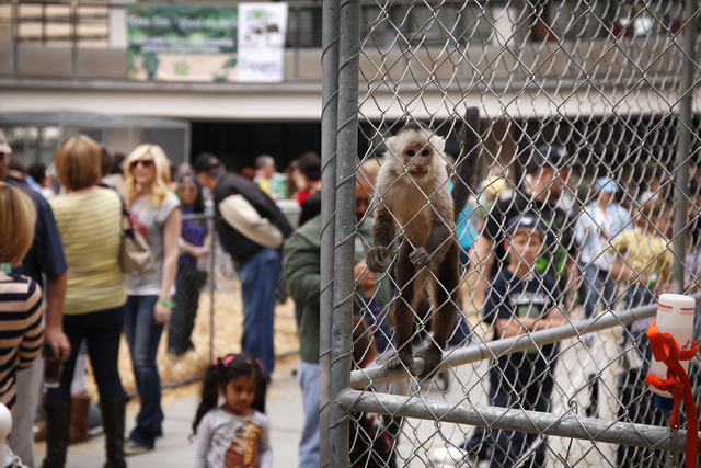 A capuchin monkey is on display at the Zappos.com headquarters in Las Vegas Saturday, Feb. 15, 2014. Animals from the Roos-N-More zoo were on display downtown to raise money for the zoo which was  ...