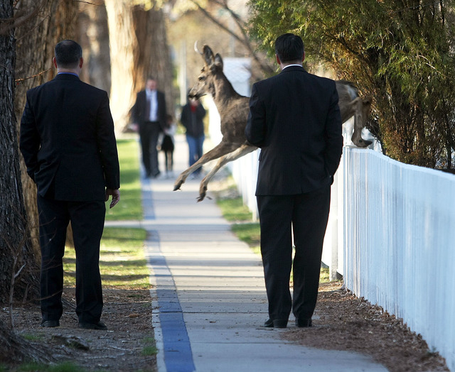 A deer jumps in front of Nevada Gov. Brian Sandoval, right, while he walks to work Wednesday in Carson City. Sandoval was making his short commute from the governors mansion on foot to mark the fi ...