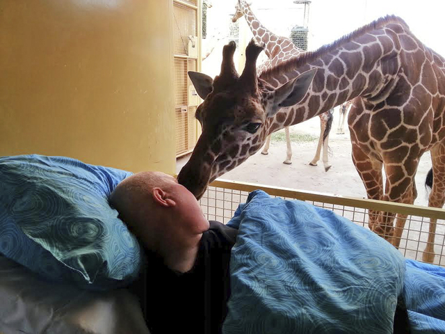 This photo released Saturday March 22, 2014 by Stichting Ambulance Wens or Ambulance Wish Foundation shows a giraffe at Blijdorp Zoo in Rotterdam giving a lick to terminally ill Mario Eijs on Wedn ...