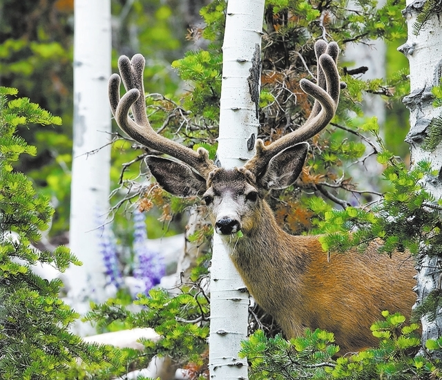 Mule deer buck with trophy antlers. The Nevada Department of Wildlife is looking at regulating the growing practice of collecting the trophies to protect the state's deer and elk population ...