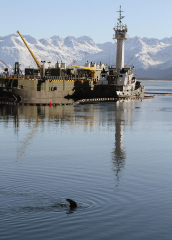 This photo taken Thursday, Feb. 27, 2014, in Valdez, Alaska, shows a sea otter in the bay near the ferry dock. The U.S. Geological Survey report released Friday, Feb. 28, 2014, concludes sea otter ...