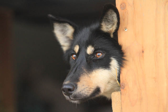 Bonnet, a sled dog on the team of former Iditarod champion Jeff King, lies in a dog box of a truck before the ceremonial start of the 2014 Iditarod Trail Sled Dog Race on Saturday, March 1, 2014,  ...