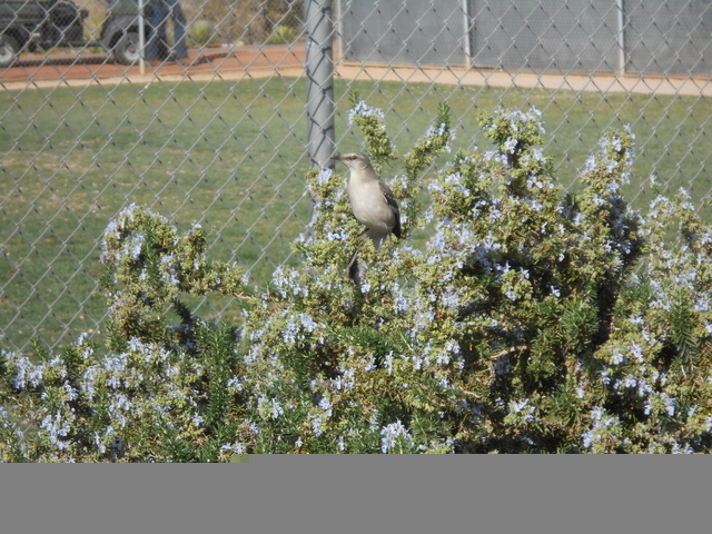 A bird sits on top of spreading rosemary at the Acacia Demonstration Gardens. (Michael Lyle/ Las Vegas Review-Journal)