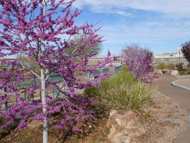 The Oklahoma Redbud, show at the Acacia Demonstration Gardens, is one of the variety of trees showcased. (Michael Lyle/ Las Vegas Review-Journal)