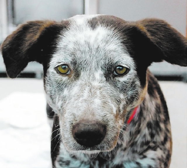 Brody The Animal Foundation My name is Brody (I.D. No. A768480), and I'm a 2-year-old female Australian cattle dog who wants to herd her way into your heart. I'm sweeter than pie, and while I  ...